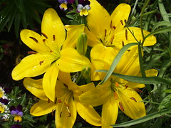 lilies (Gloria1207) Tags: summer flower yellow lily raindrops mygarden asiatic gmm1207 gloria1207