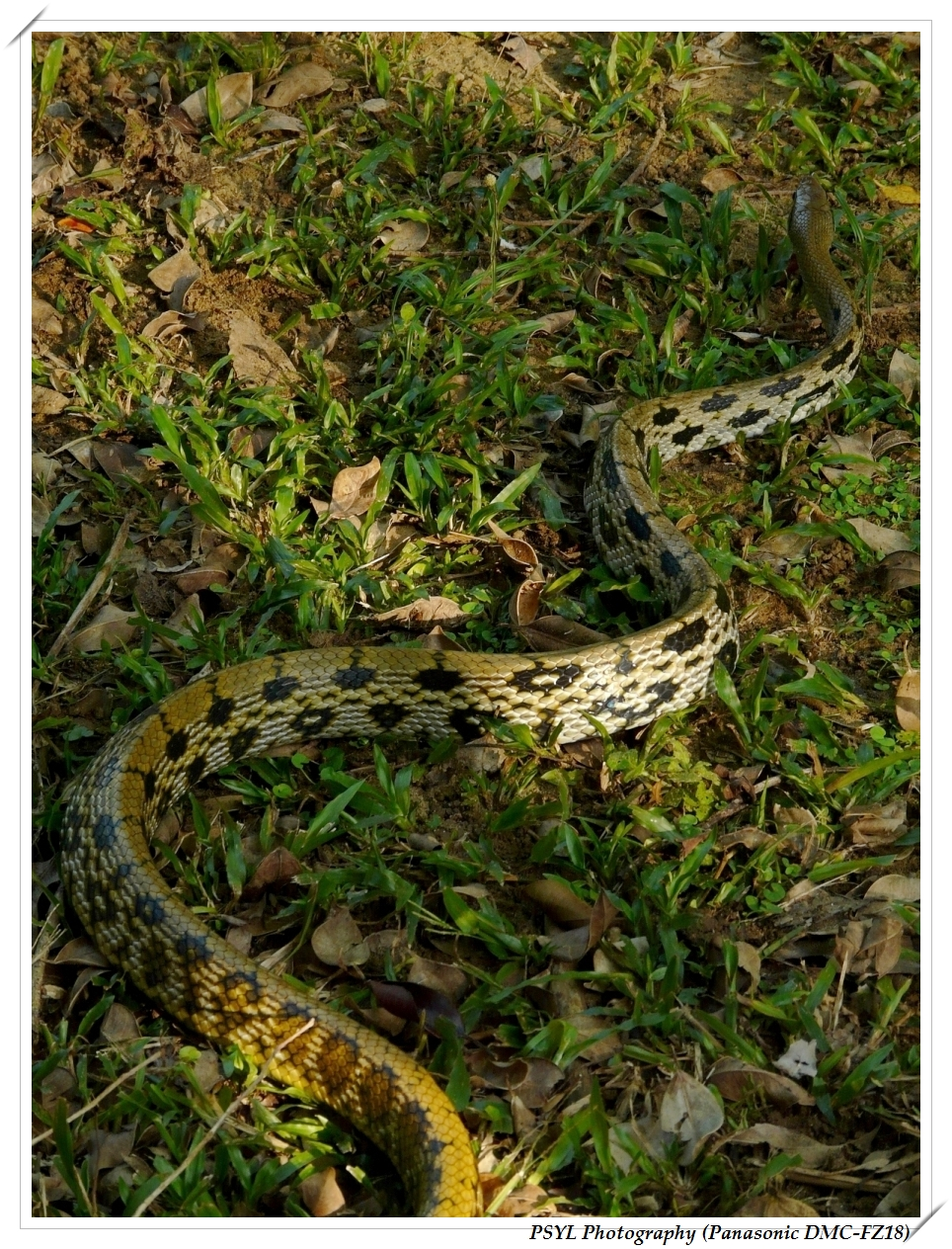 Stripe-tailed Rat Snake (Elaphe taeniura) - 錦蛇