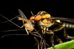 Robber fly (Holcocephala fusca) - eating a fly (Gustavo Mazzarollo) Tags: brazil macro closeup canon insect fly leaf feeding action eating south 100mm brazilian robberfly feed robber dcr250 raynox macroextreme platinumphoto geo:country=brazil macrolife holcocephalafusca