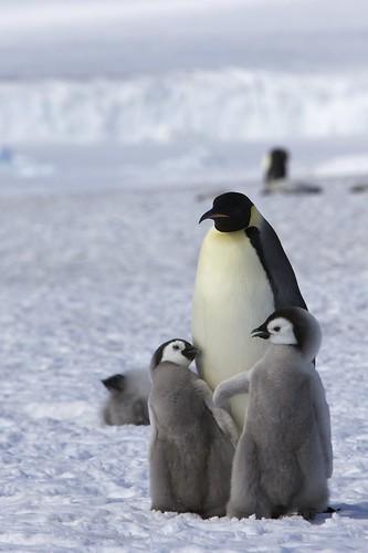 フリー画像| 動物写真| 鳥類| ペンギン| 皇帝ペンギン| 親子/家族| 雛/ヒナ|     フリー素材|