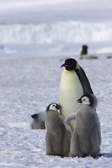 [フリー画像] [動物写真] [鳥類] [ペンギン] [皇帝ペンギン] [親子/家族] [雛/ヒナ]     [フリー素材]