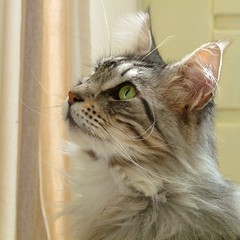 Profile of Floris (Cajaflez) Tags: friends portrait cute cat kat chat profile longhair gato mainecoon katze gatto kater floris profiel cc400 cc300 cc200 cc100 cc500 kissablekat bestofcats velvetpaws theunforgettablepictures natureselegantshots vosplusbellesphotos saariysqualitypictures newgoldenseal 1001nightsmagiccity