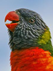 """Rainbow Lorikeet"" (fantommst) Tags: newzealand bird closeup zoo rainbow colorful lorikeet parrot aves auckland nz hero winner trichoglossus haematodus flickrchallengegroup flickrchallengewinner moluccanus thechallengefactory"