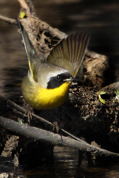 506_commonYellowthroat1
