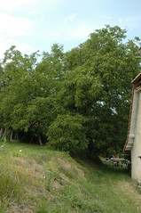 Juglans regia (Common walnut / Okkernoot) 2303 (Bas Kers (NL)) Tags: france europe dordogne 2006 juli juglansregia okkernoot commonwalnut taxonomy:binomial=juglansregia