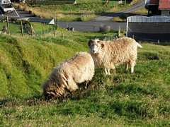 Rams in Vgur, Suuroy, Faroe Islands (Eileen Sand) Tags: houses seascape landscape town village view sheep faroeislands faroes froyar faroese vagur suuroy foroyar seyur bygd vgur suduroy verar