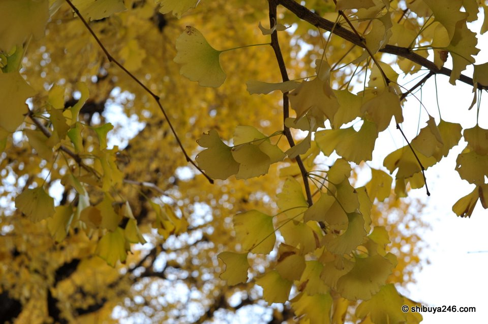 Ginkgo trees close up.