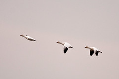 Snow Geese (melmark44) Tags: snowgeese forsythenwr