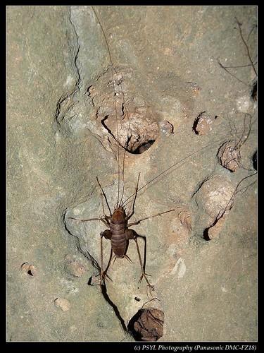 Ceuthophilus maculatus - 灶馬