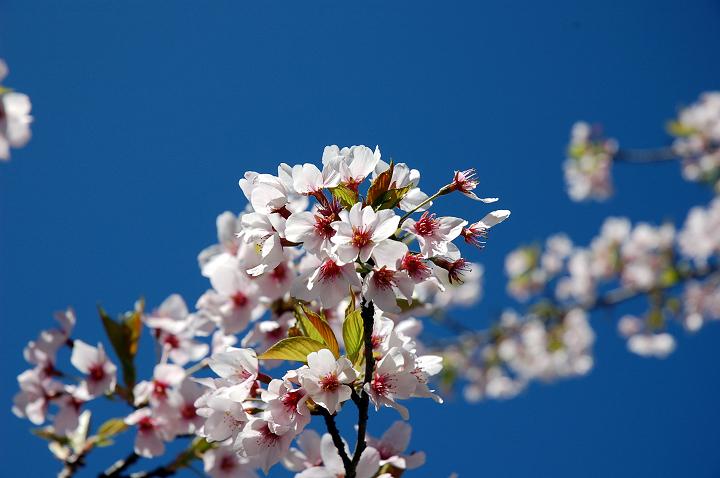 25阿里山櫻花