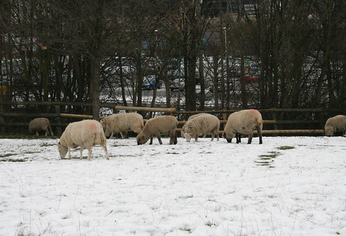 Sheep in mudchute park