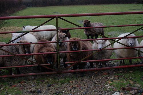 Sheep at gate