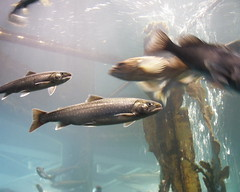 Dolly Varden, a type of Arctic Char.