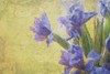 Fresco Iris -from my garden with textures