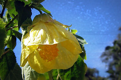 I love a summer's day... (Lulybelle) Tags: blue yellow hearts abutilon picnik smorgasbord chineselantern saveearth
