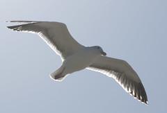 Seagul Photo