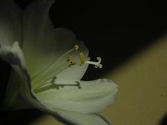 White amarrylis with shadow/ witte amarrylis (aenee) Tags: shadow white flower nature natuur schaduw wit bloem sooc aenee amarrylis