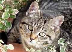 micioterapia (moris58) Tags: cat siamese gatto micio bestofcats