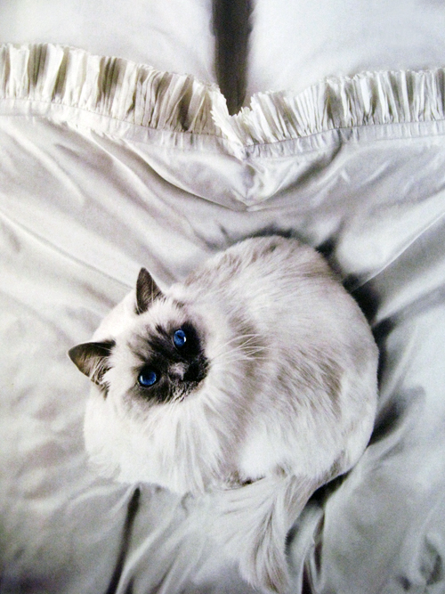 white cat blue eyes wallpaper mag-2