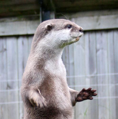 river otter standing erect, looking alert