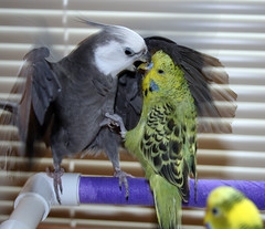 Cockatiel vs English Budgie (PuppiesAreProzac) Tags: pet pets white green bird english birds animal animals foot funny gray beak feather olive parrot budgerigar budgie parakeet cockatiel avian keet