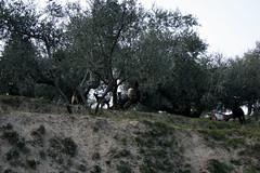 chèvres perchées