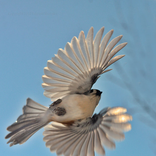 tufted titmouse flying 2175