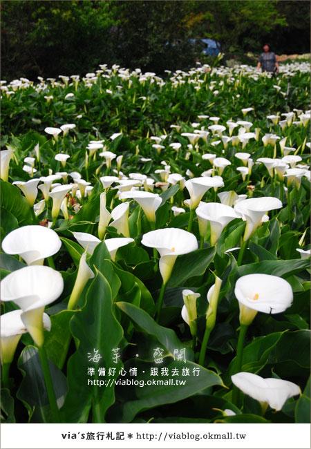 【2010竹子湖海芋季】陽明山竹子湖海芋季~海芋盛開囉!4