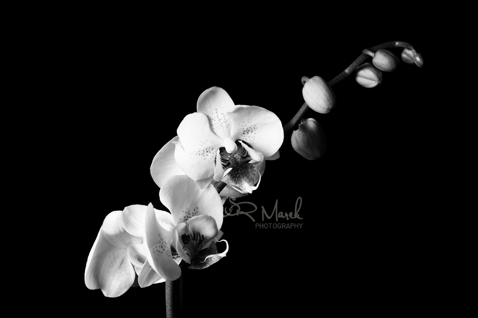 Orchid Black & White
