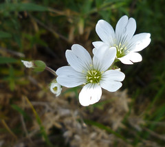 meadow chickweed - cerastium arvense