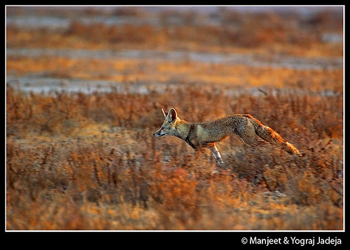 Desert Fox Running