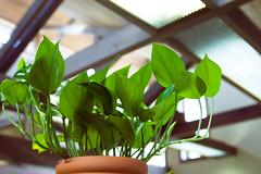 My Pothos plant