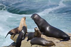 DSC_2890 (KayOne73) Tags: ocean park ca beach lens la nikon san zoom cove g diego telephoto seal f 28 mm nikkor 70200 vr jolla afs d7000