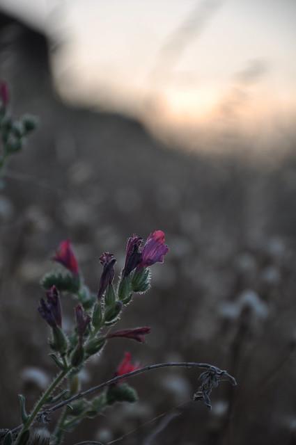 weeds at dusk 2