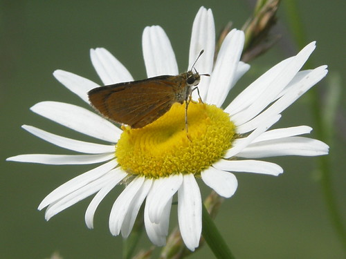 Least Skipper on daisy