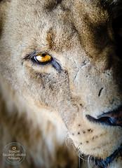 The Stare (SimonTHGolfer) Tags: lion bigcat africa eye portrait predator safari nature nikon simontalbothurnphotography