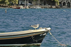 A6473DUBb (preacher43) Tags: cavtat croatia promenade luka bay gull boat bird