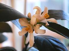 Lemon Blossom 2