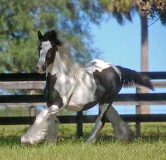 Livianna (The Pelton Vanners Gypsy Vanner Horses) Tags: horses horse riding cob gypsy pelton foal foals irishcob gypsyvanner gypsycob gypsyvannerhorse thepeltonvanners