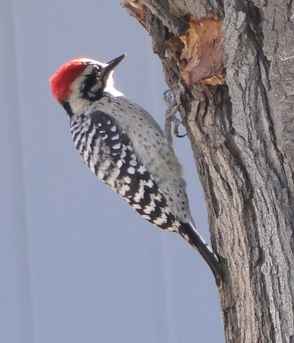 """male ladderback woodpecker • <a style=""""font-size:0.8em;"""" href=""""http://www.flickr.com/photos/10528393@N00/4123236198/"""" target=""""_blank"""">View on Flickr</a>"""