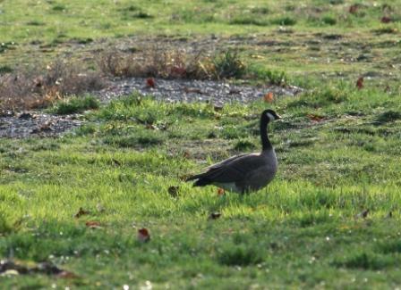 Canadian Goose at Potlatch