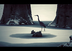 Monsieur Heron - 01 (sparth) Tags: seattle lake snow bird ice heron animal walking dead washington snowy trunk mister snowing rattlesnake 2009 monsieur deadtrees rattlesnakelake 70200f4l 70200l 5dmarkii