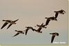 Branta leucopsis - Barnacle Goose (Marc Nollet) Tags: belgium blankenberge barnaclegoose brantaleucopsis brandgans uitkerksepolder grauweganzen bernachenonnette oiecendré