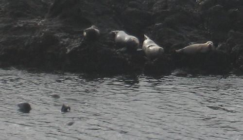 Seals at Sea Ranch