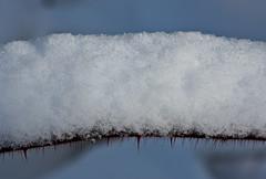 Snowy Thorns