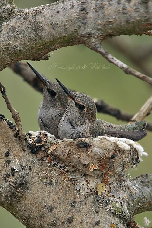 Anna's Hummingbird nest 09001-3