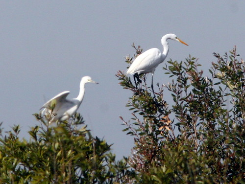 Little Blue Heron and Great Egret 20100113