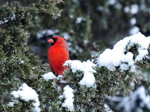 cardinal closeup snowstorm3
