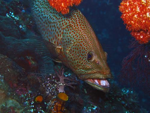 Slender Grouper - Anyperodon leucogrammicus
