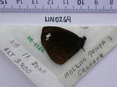 Forsterinaria pilosa